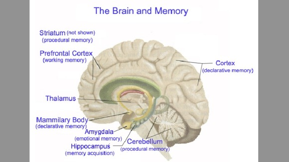 the hippocampus and working memory and