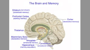 How the brain stores memory