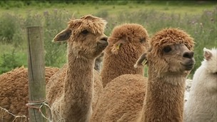 Alpacas up for auction