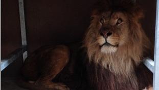 Hugo the male lion