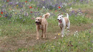 Two dogs walking in a field