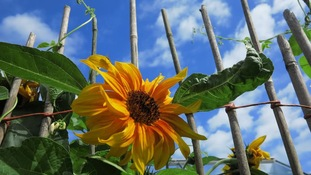 This sunflower was enjoying the mid-morning sun in Lowestoft as temperatures rocketed.
