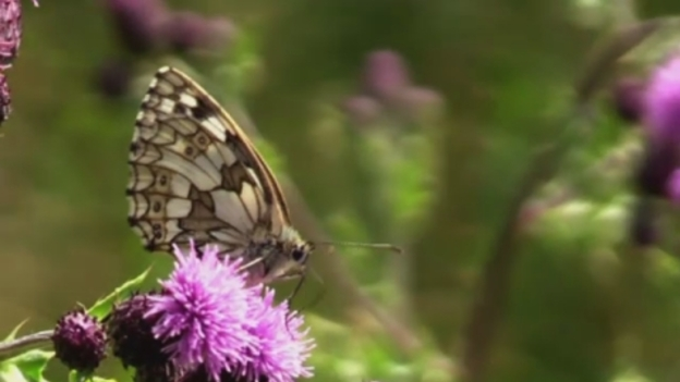 P-BUTTERFLY_ATTENBOROUGH_ITV2000_Vimeo
