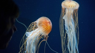 Jellyfish are set to be a common sight in some British seas this summer.