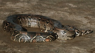 Boa constrictor - the type of snake found by police