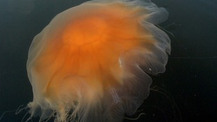 The lion's mane jellyfish, spotted off north Wales, has a nasty sting.
