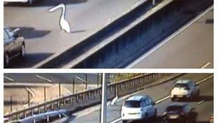 Swan crossing M25