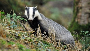 Swindon cyclist attacked by badger