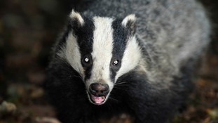 Government says no to badger gassing