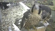 Peregrine chick leaves nest