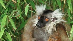 Female black lemur