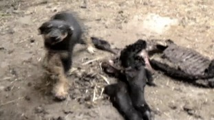 The carcass of a calf was left among the underfed dogs' filth.