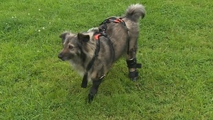 Glory has now been fitted with three prosthetic legs and is the picture of health