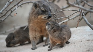 Chester Zoo's rock hyrax mum and baby