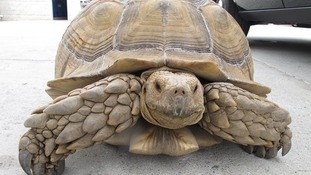 The giant tortoise named Dirk had been missing for a day when he was spotted by police.