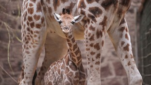 Giraffe calf and mum