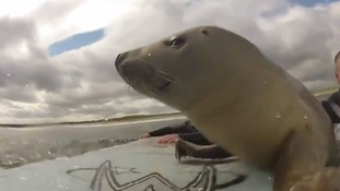 The baby seal played with the surfers for around an hour.