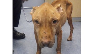 The RSPCA released this image of Cleo in a state of severe emaciation.