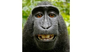 "The crested black macaque ""selfie"" taken with photographer David Slater's camera."