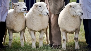 Sheep on display  at the North Devon show this week
