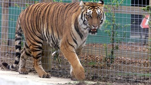 A Bengal tiger like this one snatched a woman in India.