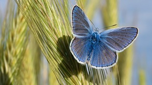 Common Blue butterfly will be counted in the survey
