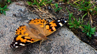 Painted Lady butterfly will be counted