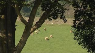 sheep rustling