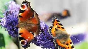 A peacock butterfly and a small tortoiseshell bask on a buddleia