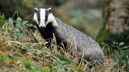 Government commits to badger culls