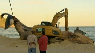 40ft humpback whale removed from Brazil beach