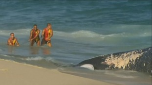 A team of lifeguards used ropes to pull the 30 tonne whale ashore.