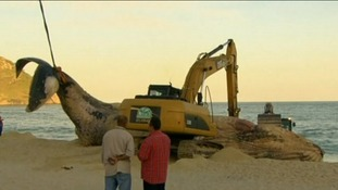 Two tractors were used to help remove the mammal which had already been decomposing ashore.