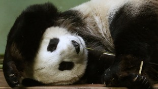 Tian Tian sleeps in her enclosure at Edinburgh Zoo in April 2014