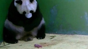 The mother panda Juxiao is pictured with one of the tiny baby cubs.