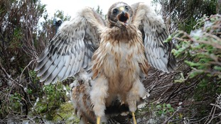 Excess hen harrier chicks 'could be removed from the grouse moors and reared elsewhere'.