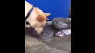 The dog was caught on camera splashing water onto the fish
