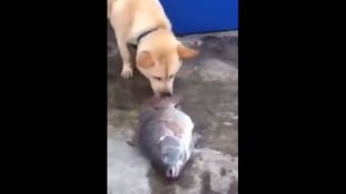 The dog also stopped to nudge the fish with its nose