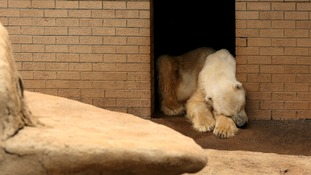 Wang, the only polar bear in Africa, reacts as he mourns the death of his companion, Geebee.