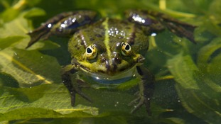 A frog on a lily pad.