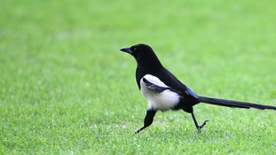 A magpie skips across a pitch before the match