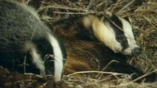 Badger vaccination underway in West Wales
