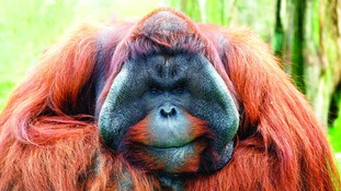 Batu is the only male Orangutan at Twycross