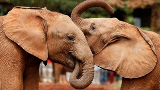 Elephants orphaned by poaching in Kenya.