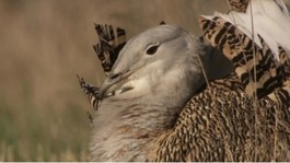 New phase for the Great Bustard reintroduction