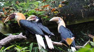newly fledged hornbill chick at Newquay Zoo