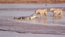 Trio of lions take on crocodile in clash of the titans