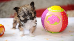 Tyson is believed to be Britain's smallest dog