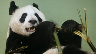 Edinburgh's giant panda Tian Tian is thought to be in the early stages of pregnancy.