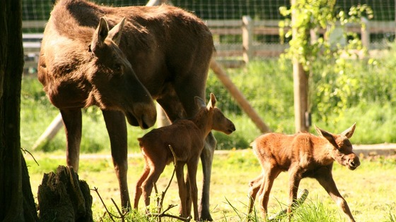European moose calves Toffee and Caramel